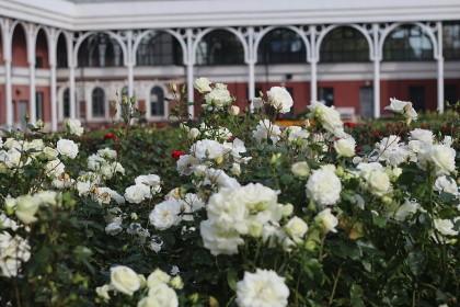 Розарий в Измайловском саду в СПб