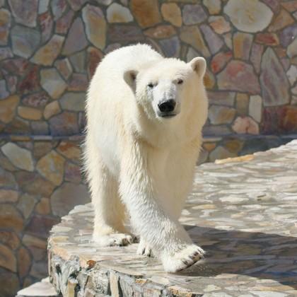 Жительница Ленинградского зоопарка белая медведица Хаарчаана
