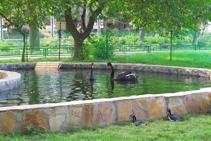 Летний вольер с прудом для черных лебедей  в Ленинградском зоопарке