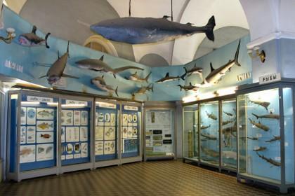 Экспозиция Акул в Зоологическом музее