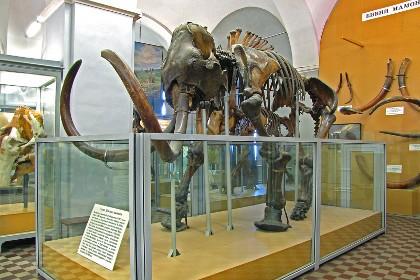 Скелет Ленского мамонта в Зоологическом музее
